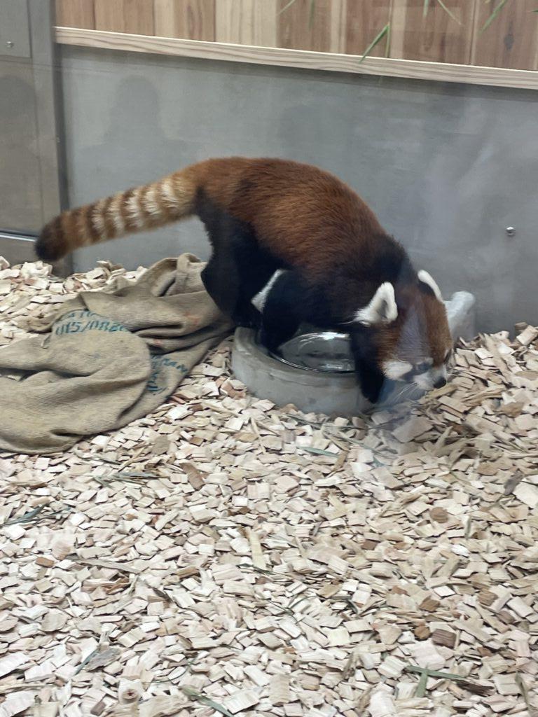 東山動植物園のレッサーパンダ